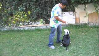 Dog Training: Training Basic Obedience To American Bulldog Puppy