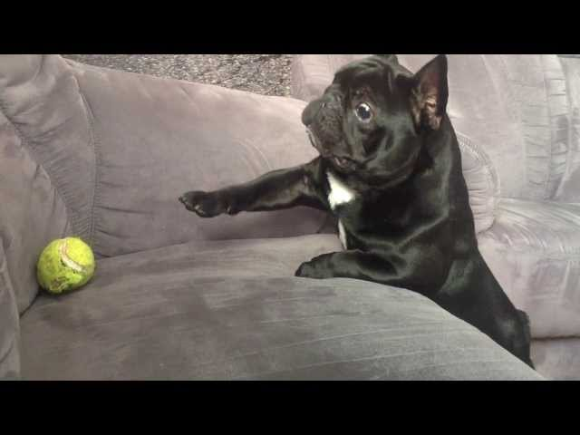 BlanKy French Bulldog To Funny