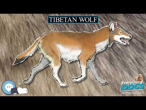 tibetan-wolf