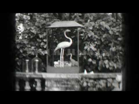 1938: Hialeah Park horse racetrack pink flamingo mounted stuffed behind glass. HIALEAH, FLORIDA