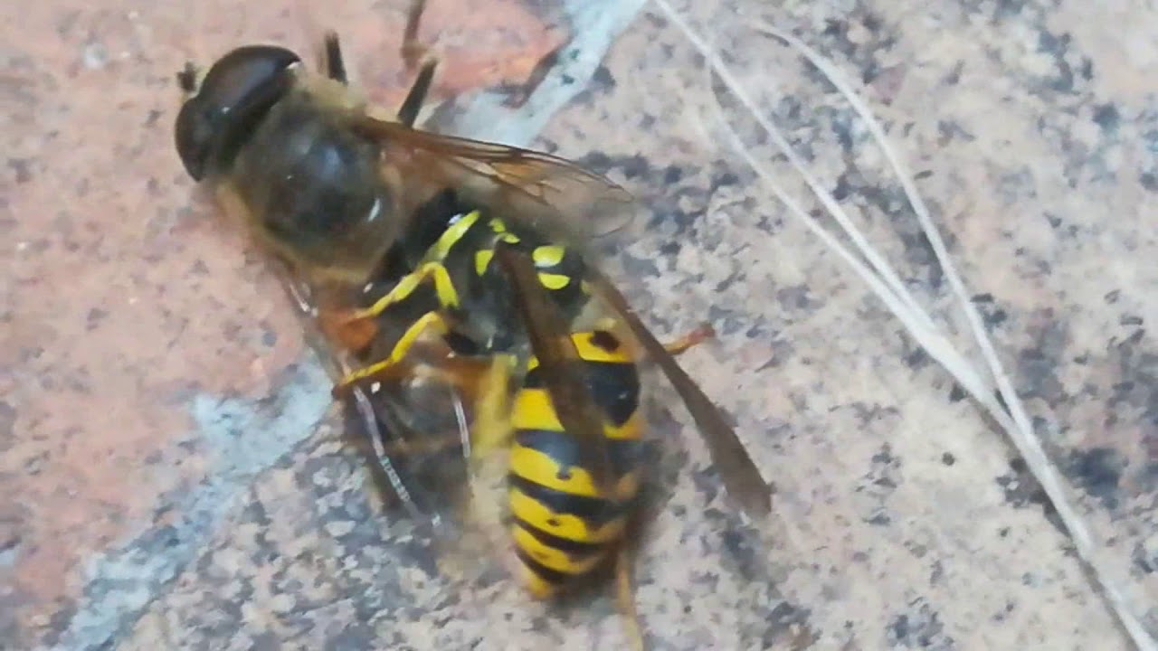 RARE Takara Tomy Asian Giant Wasp Hornet Bee Realistic ...  |Insecta Insects