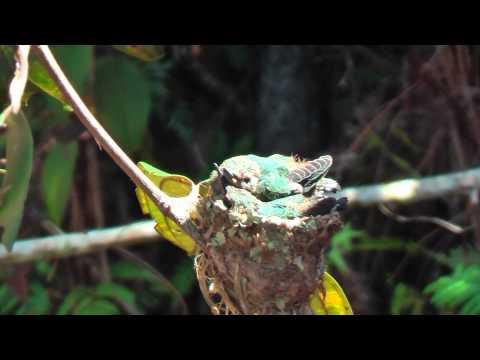 Bee Hummingbirds or Zunzuncito the smallest living bird in the world