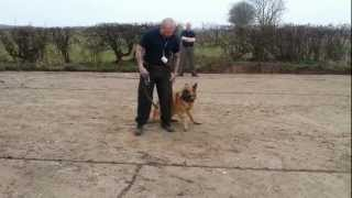 Samurai Protection Dogs Uk - Jacob Off Leash Obedience