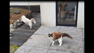 Zoomies! The Fastest Ragdoll Cats