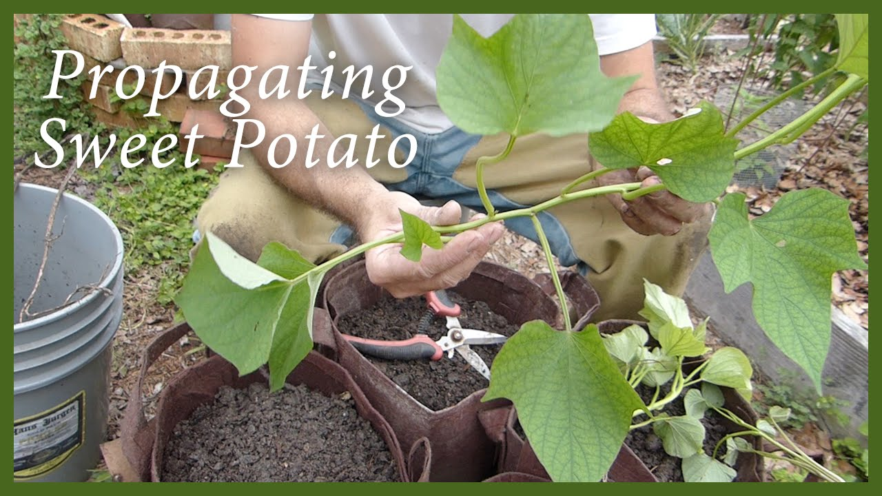 Planting Sweet Potatoes Slips From A Volunteer Plant Youtube