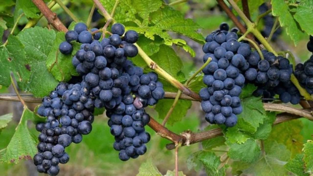 best way to growing grapes youtube