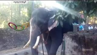 ആനയിടഞ്ഞ് പാപ്പാനെ കുത്തി | Elephant Attack at Guruvayur Anathavalam