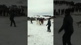 Улактын кумары-азарты шумдук, аттары менен кулап калса да намыс үчүн койо бербей тартышып жатыры😊😀