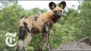 Wild Dogs Sneeze to Hunt | ScienceTake thumbnail