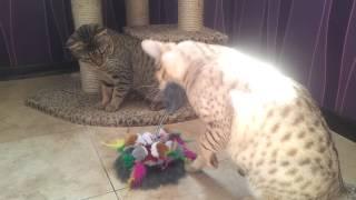 Оцикет коты играют