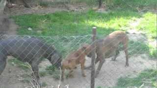 Boxer Vs. Staffordshire Bullterrier Vs. Great Dane