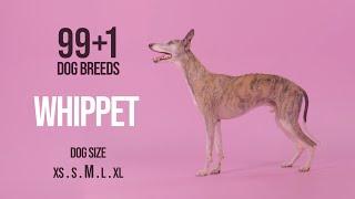 Whippet / 99+1 Dog Breeds