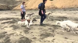 1 Borzoi, 9 Silken Windhounds go to the beach