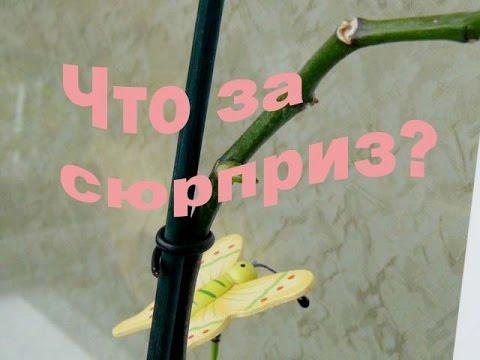 Что проснулось из почки на орхидее, детка или цветонос? Как определить?
