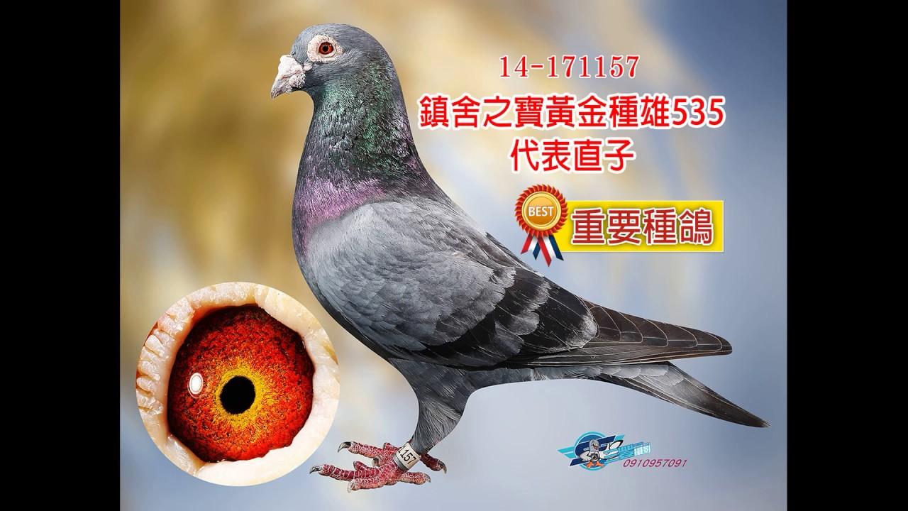 【陳進義清舍】重要種鴿欣賞 - YouTube