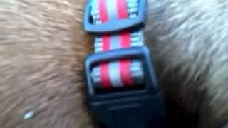 Fritz The Miniature Dachshund Dog Collar.