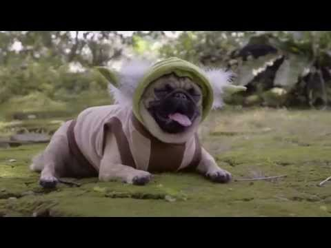 Star Wars The Pug Awakens