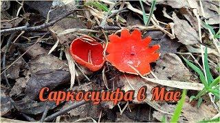 Саркосцифа в Мае - гриб подснежник | В поисках весенних Грибов Ярославского леса