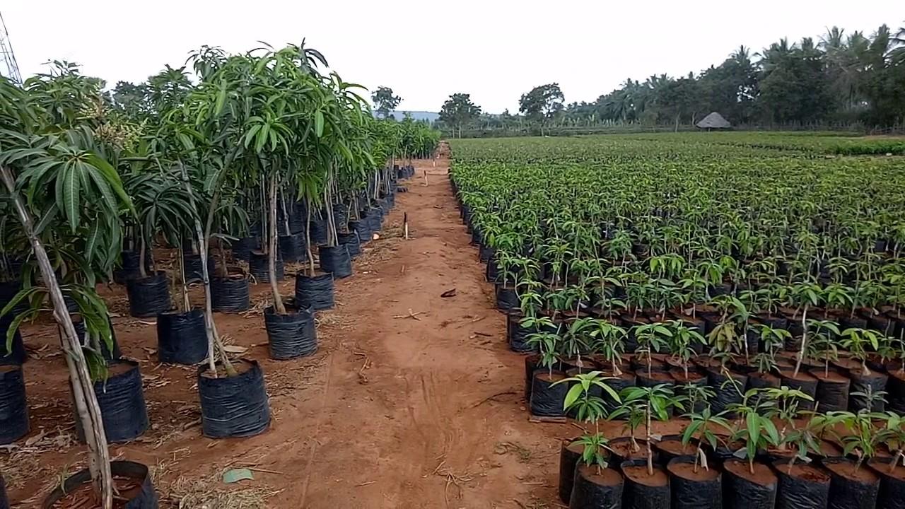 Mango Nursery
