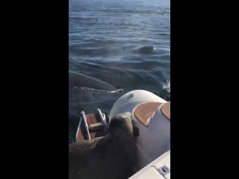 Orcas hunting seal jumps in boat part 4