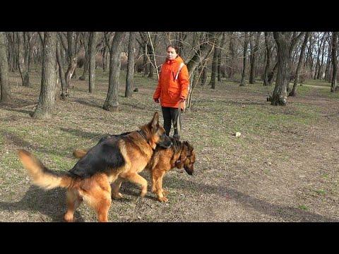 САМАЯ КРАСИВАЯ порода собак. Немецкая овчарка Райд и Гера.