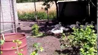 Домашние утки