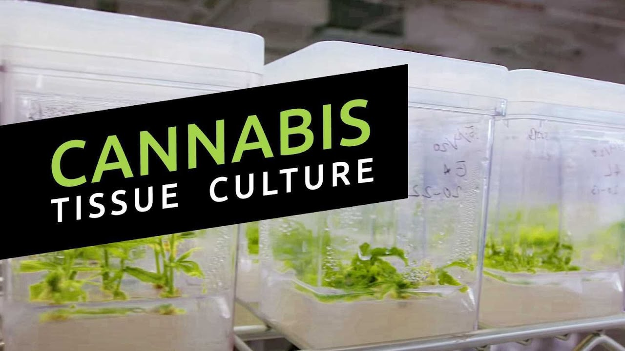 Download Cannabis Tissue Culture Master Class w/ Dr. Sma Zobayed at Segra International (Podcast Episode 11)
