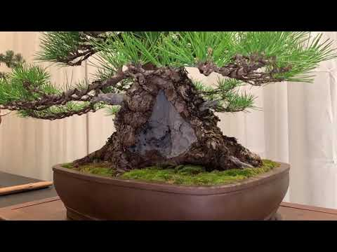 Part II: Exhibition Awards at Houston 2019 Bonsai National Convention