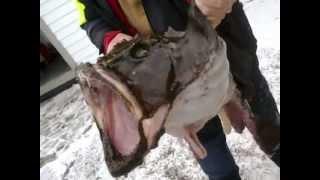 Połowy ryb potworów w Norwegii