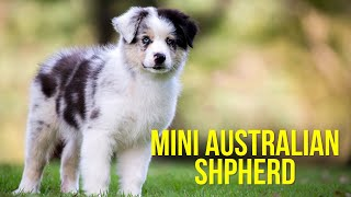 Mini Australian Shepherd  Top 10 Facts Pros and Cons of a Mini Aussie Dog