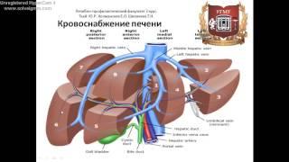 Печень: топография, строение, функции, кровоснабжение, иннервация, регионарные лимфаузлы