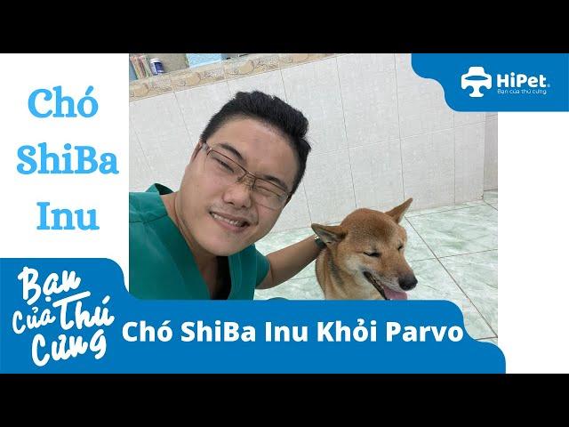 Chó ShiBa Inu Khỏi Parvo - HiPet