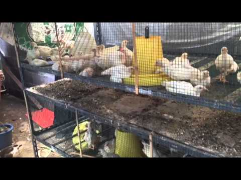 P#0006: Chicken Coop & Goat Milk Urban Farming