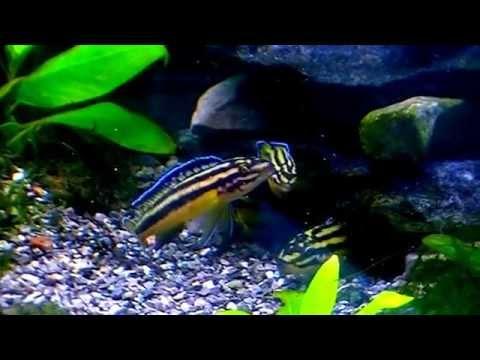 Julidochromis Marksmithi. Tropical Fish