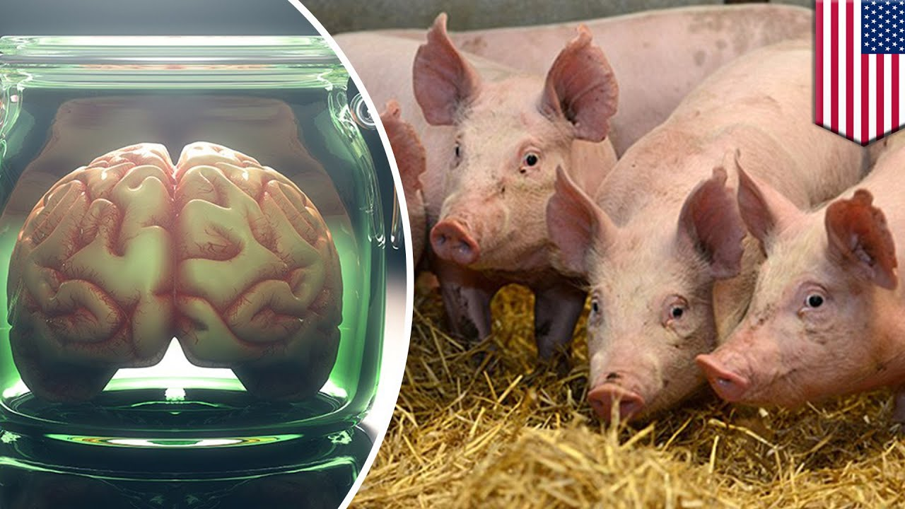 Pig Brains Kept Alive Outside The Body For 36 Hours Tomonews Youtube