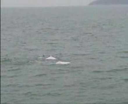 Hong Kong Dolphins