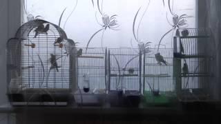 Пение диких птиц: Чиж, Щегол, Зеленушка, Реполов, Чечетка:)