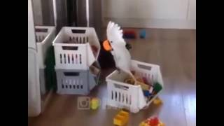 Evde canı sıkılan papağan cok komik ya