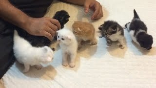 Persian kittens tripple coat doll face .. Random Video .. 1 Cat 7 kittens