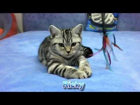Британские котята окраса черный мрамор на серебре (Ricky 3 months)