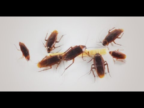 Roaches In The Kitchen Are No Match For Roach Doctor Cockroach Gel