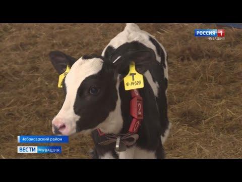 Первые 4 теленка из пробирки появились на свет  в Чувашии