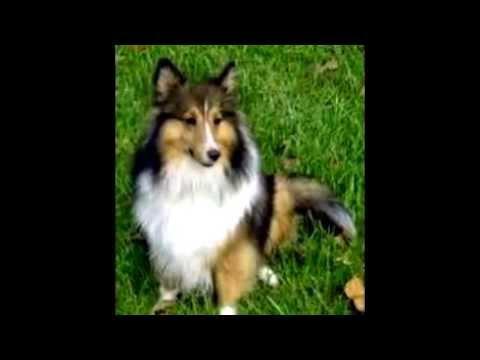 le 10 razze canine più intelligenti secondo veterinari e il perchè