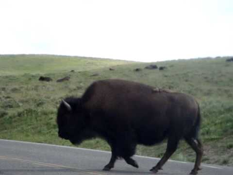 Bison/buffalo at yellowstone by cars mating season, grunts and tongues galore!
