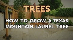 How to Grow a Texas Mountain Laurel Tree