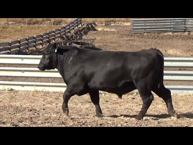 Connealy Angus Lot 252