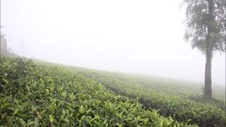 Ooty Tea Plantation Coonoor-Hybiz.tv