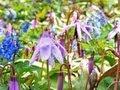 札幌・豊平公園にカタクリ エゾエンゴサク鮮やか(2013/05/07) 北海道新聞