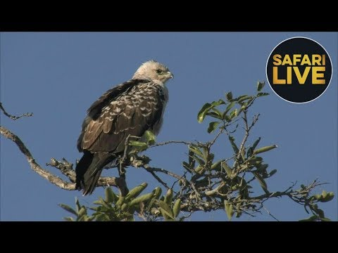 safariLIVE - Sunrise Safari - September 1, 2018