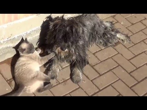 Dog Vs Cat: Cute 'Ninja' Kitten Shows Schnauzer Who's Boss